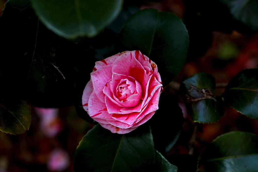 pinkrosie.jpg