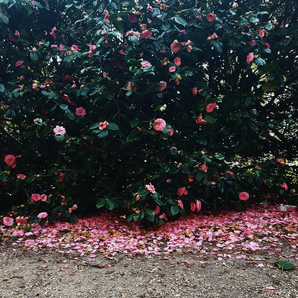 pink petals.jpg