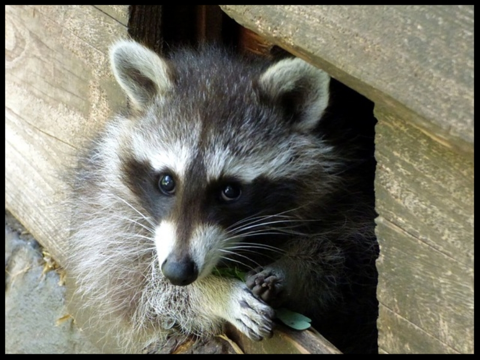 A to Z Animal and Pest Control-Raccoons in Cape Cod