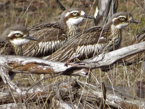 Bush-stone curlews on a Sunday morning