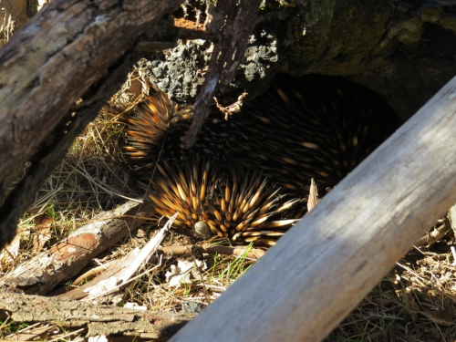 I learnt that echidnas have tiny stumpy tails - you can just see Eddie's poking out from under his spines.