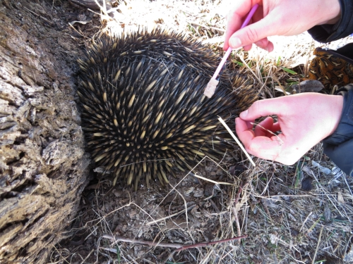 echidna having tracker attached