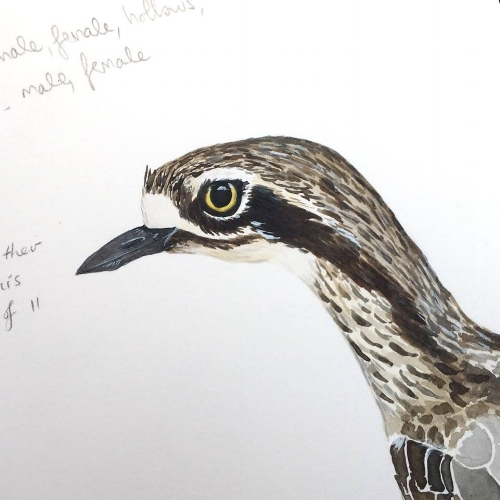 Bush-stone curlew sketch in ink