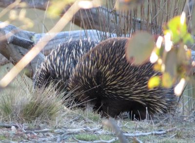Two of the three echidnas foraging