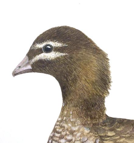 Maned duck (female)