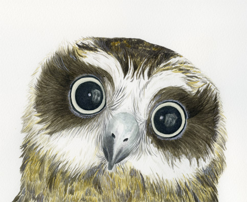 Young boobook owl