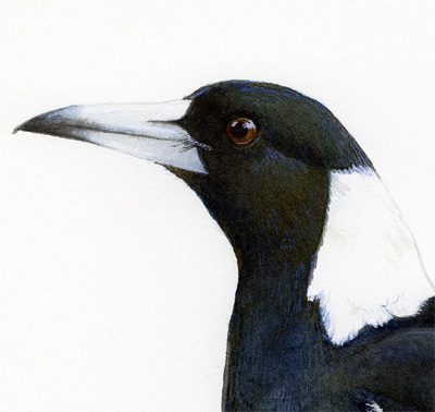 Detail of magpie