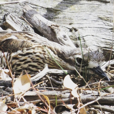 A very well camouflaged curlew