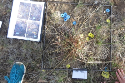 A plot with markers (blue=dug-up plants yellow=existing, unflowering plants)