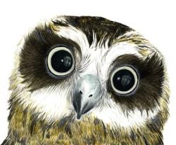 Juvenile Boobook Owl