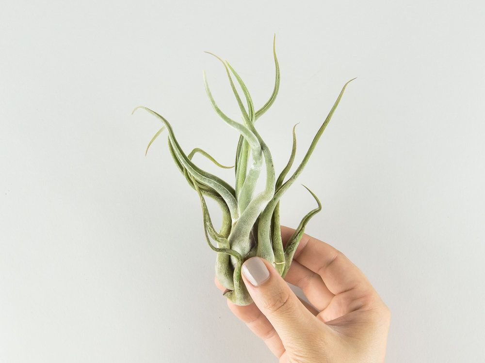 Medusae air plant with thicker leaves, but more places for water to get trapped.