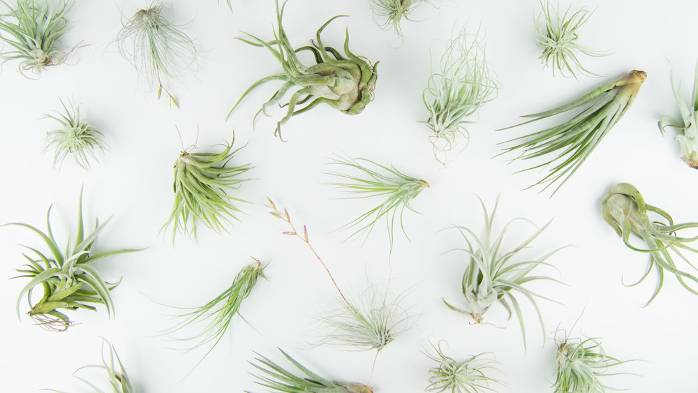 Different types of air plant species