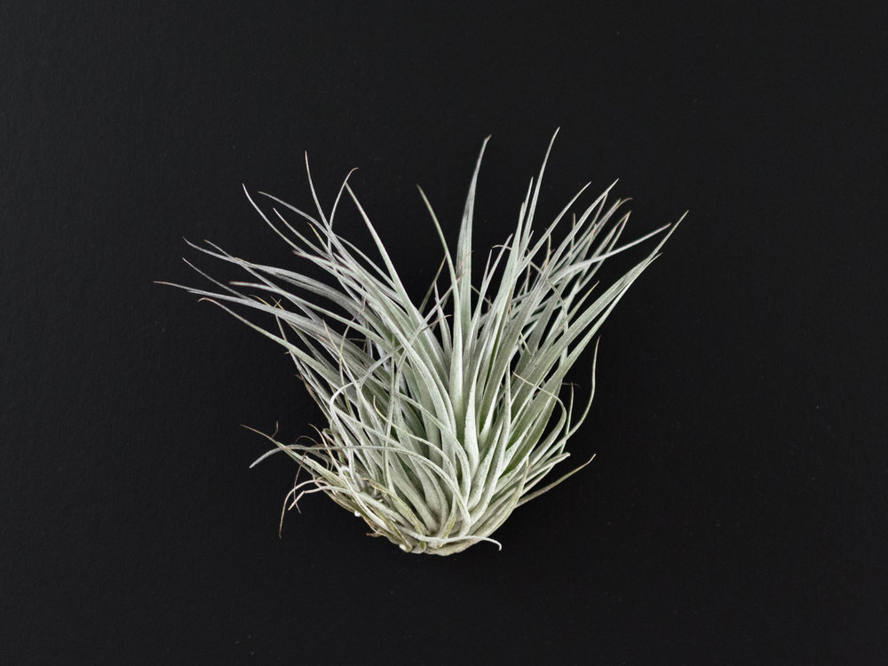 Houston Cotton Candy Air plants - single - the savvy heart.jpg.jpg
