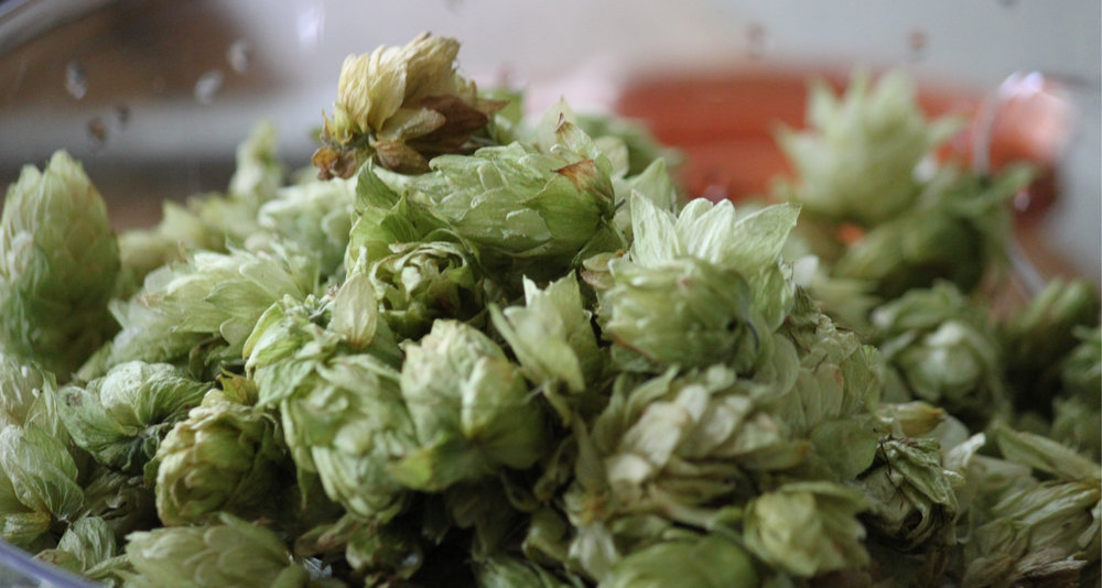 Freshly_picked_hops.jpg