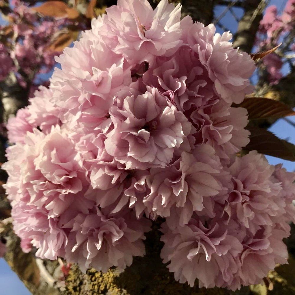 Cherry Blossom tree in Nanaimo, BC (photo by:  @thecreativesideofariel )