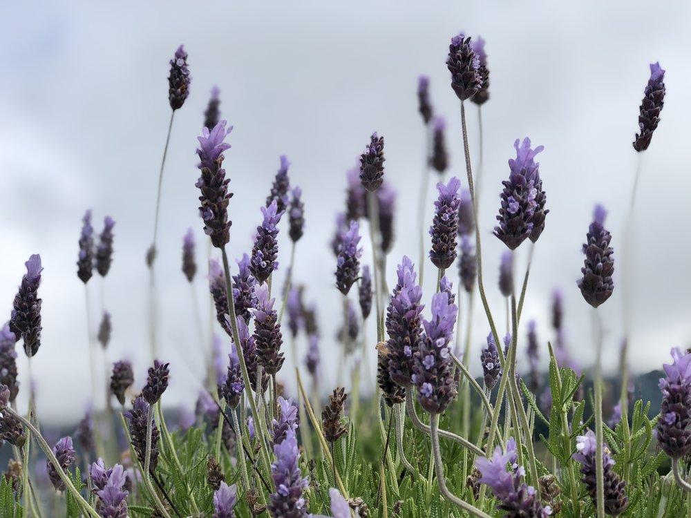 Lavender plant at  Ali'i Kula Lavender Farm  (photo by: @thelotuspage)