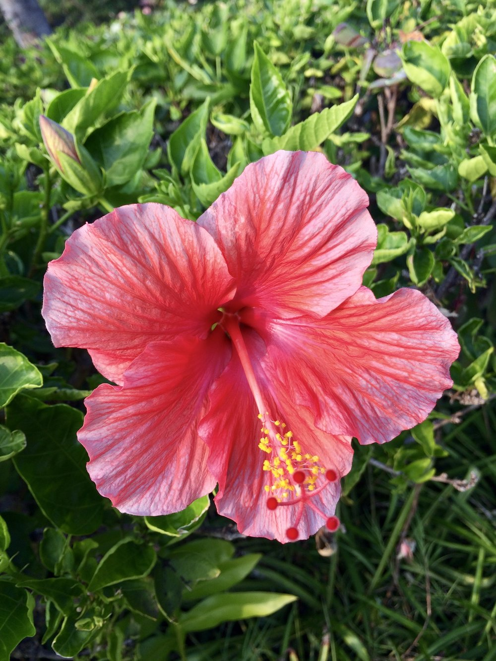 Pink hibiscus (photo by @thelotuspage)