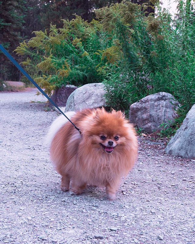 On the lookout for prairie dogs... which I'm pretty sure aren't actually dogs but some kind of sneaky imposters, like hot dogs 🌭🐾 . . . . . #pomeranian#pomsofinstagram#dogsofig#pomlife#pomstagram#puppygram#puppylove#justdogthings#cutepetclub#koacamping#pomeraniansofinstagram#fluffy#floof#moodyports#smilingdog#thatsdarling#ruffpost#doge#borkbork#instadog#seekthesimplicity#furby#petportaits#thesanfrancisco#flashesofdelight#quietthechaos#caligrammers#sanfrancitizens#petsofinstagram#prairiedogs