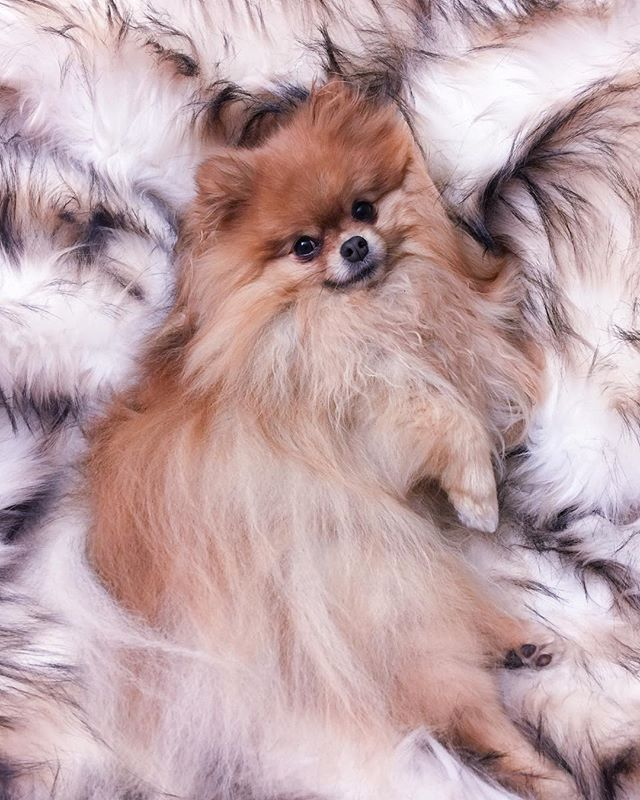 My mom thinks this blanket belongs to her but she's so wrong (it's mine) 😈 #furever . . . . . . #furblanket#fauxfur#phineas#fluffpup#furbert#happypom#pomeranianlove#pomsofinstagram#pomlife#pommy#justdogthings#cutepetclub#orangesable#borkbork#pupperino#petportaits#thesanfrancisco#chooselovely#sanfrancitizens#lifewellcaptured#artsofvisuals#happyheart#fourleggedfriend#barkpost#buzzfeeddogs#puppytales#thedailypompom#smilingdog#dogsofsanfrancisco