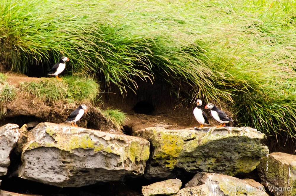 Puffins at Viðey Island