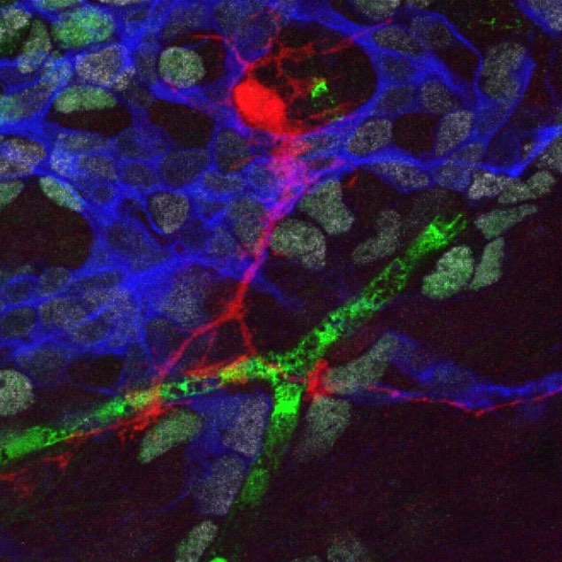 Favorite photo of the week: mouse neural stem cell (red) making contact with vasculature (green) and neurons (blue). This picture was taken by scientists at @ucsf who are studying adult neurogenesis, the birth of new neurons in the brain). . Their study published last week in Cell Stem Cell reveals new and interesting insights into adult neurogenesis and suggests that neural stem cells have a limited ability to regenerate over the lifetime of a mouse, contrary to what was originally thought. You can read more about this study in my latest blog on the @cirm_stemcells Stem Cellar. (Link in bio and http://bit.ly/2sadQr1). 📷 Kirsten Orbernier, Arturo Alvarez-Buylla Lab, UCSF.