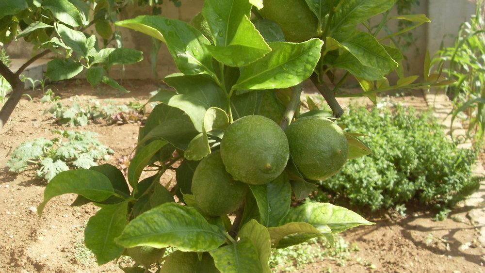 Tunisian citrus