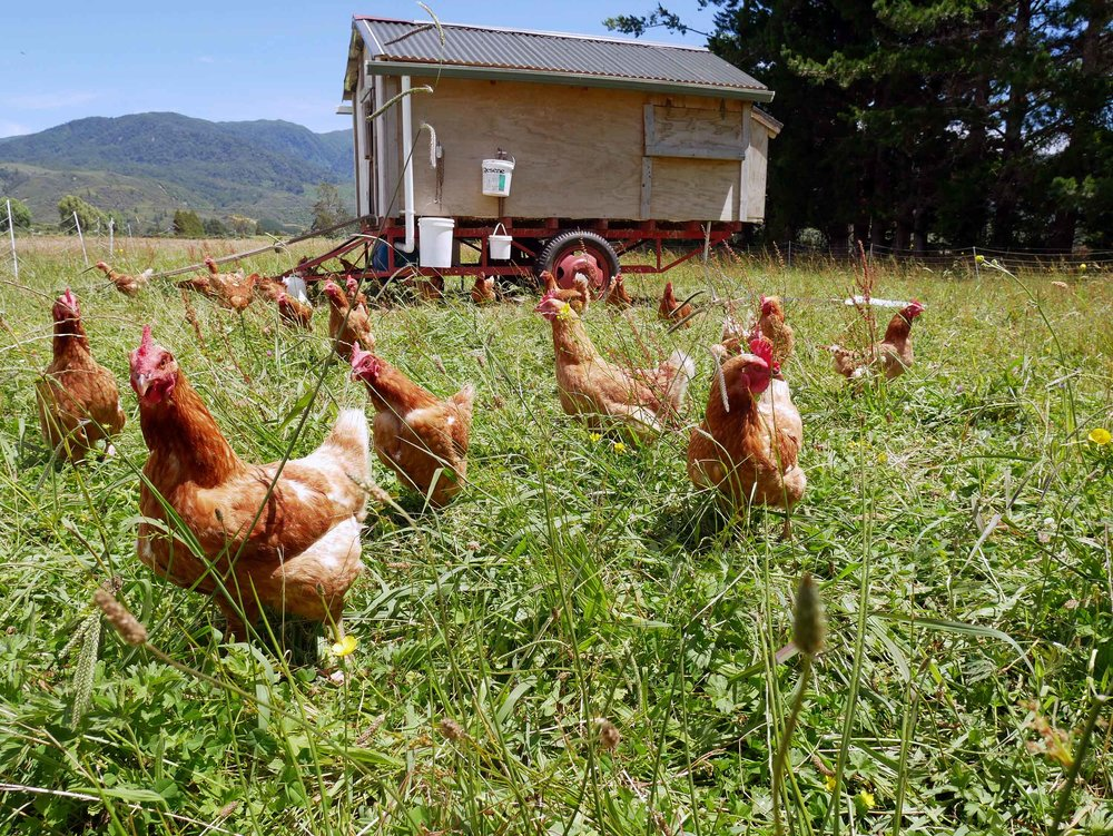 Meet the lovely ladies of Puramahoi Fields, who produce fresh eggs daily (even through moulting periods).