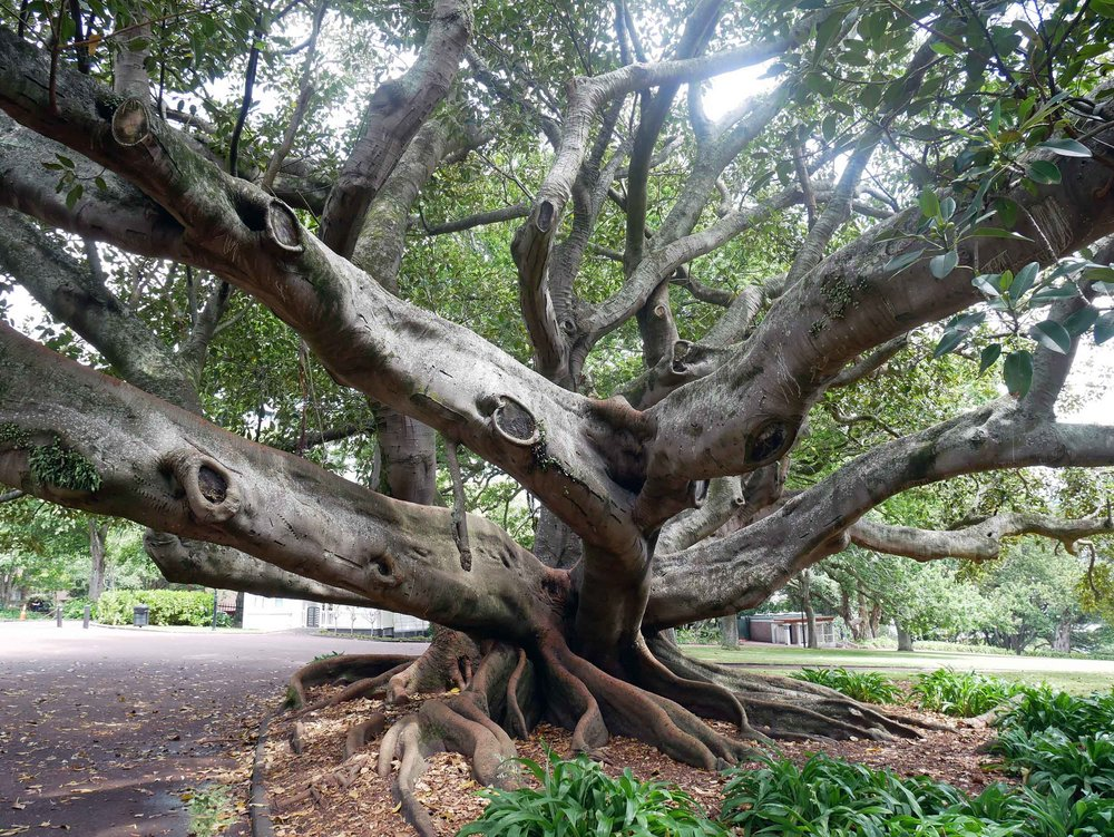 In Auckland, we walked 'Coast to Coast' across the city from the South Pacific to the Tasman Sea (about 16KM) and found this beauty in Albert Gardens (Jan 3).