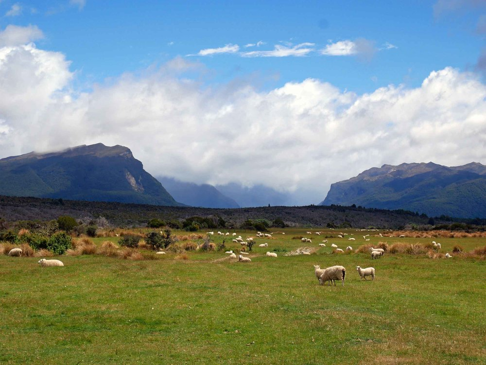 Another typical NZ scene, some of the country's nearly 30 million sheep (Jan 8).