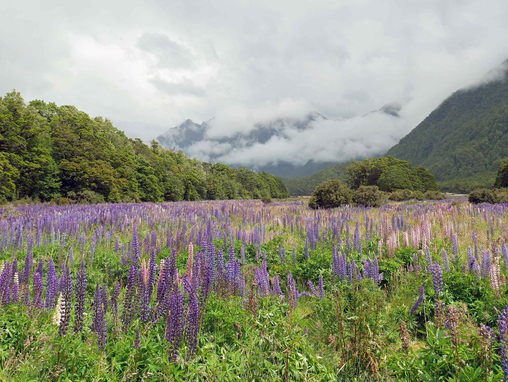 Delighted to find more fields of lupine in Fiordland National Park (Jan 9).