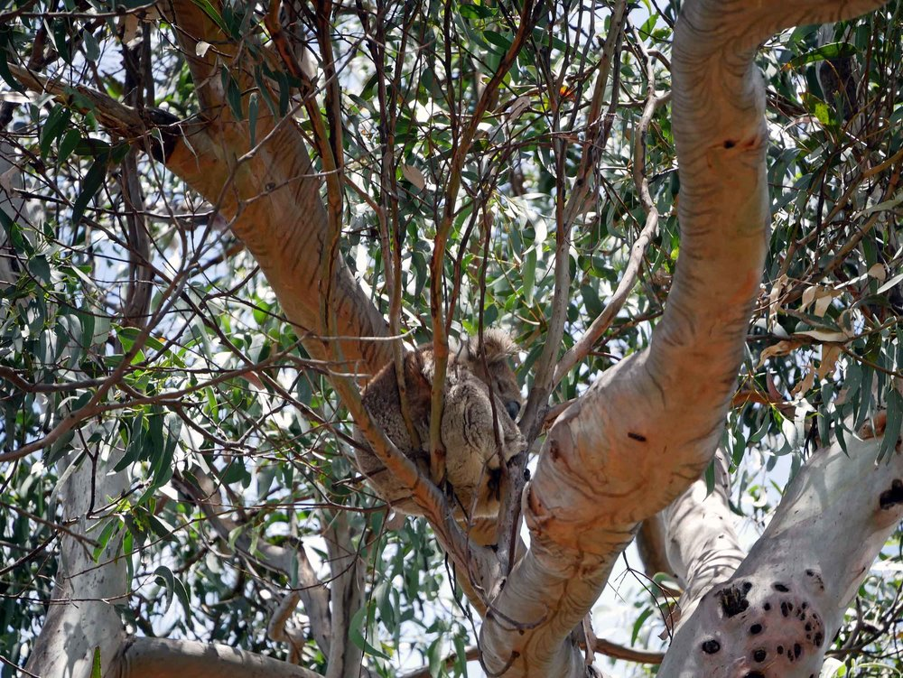 At Kennett River, koalas hang out in the trees just off the Great Ocean Road (Jan 24).
