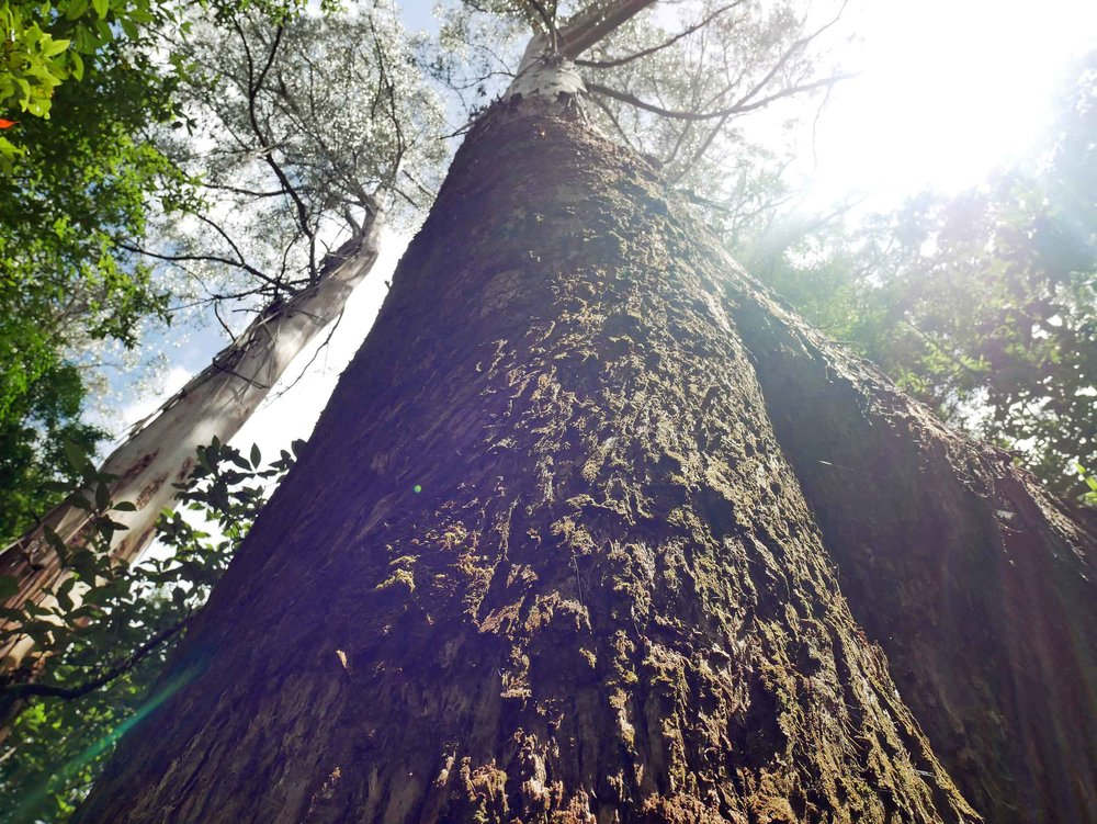 A short trek in Cape Otway revealed towering trees hundreds of years old (Jan 24).