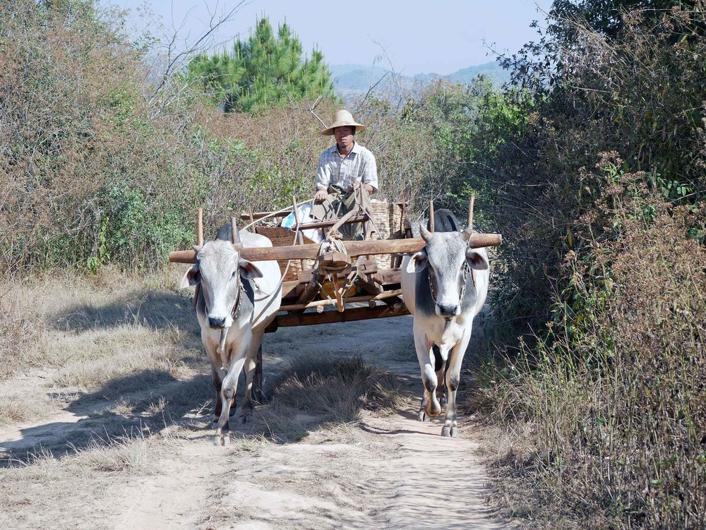 We saw very few vehicles in the villages but instead livestock being used to haul harvest (Feb 20).