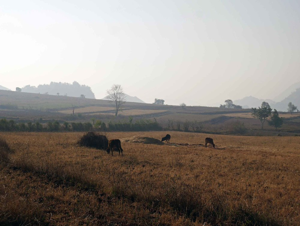 As the sun rose and temperature heated up, the livestock came to life in the hazy fields (Feb 21).