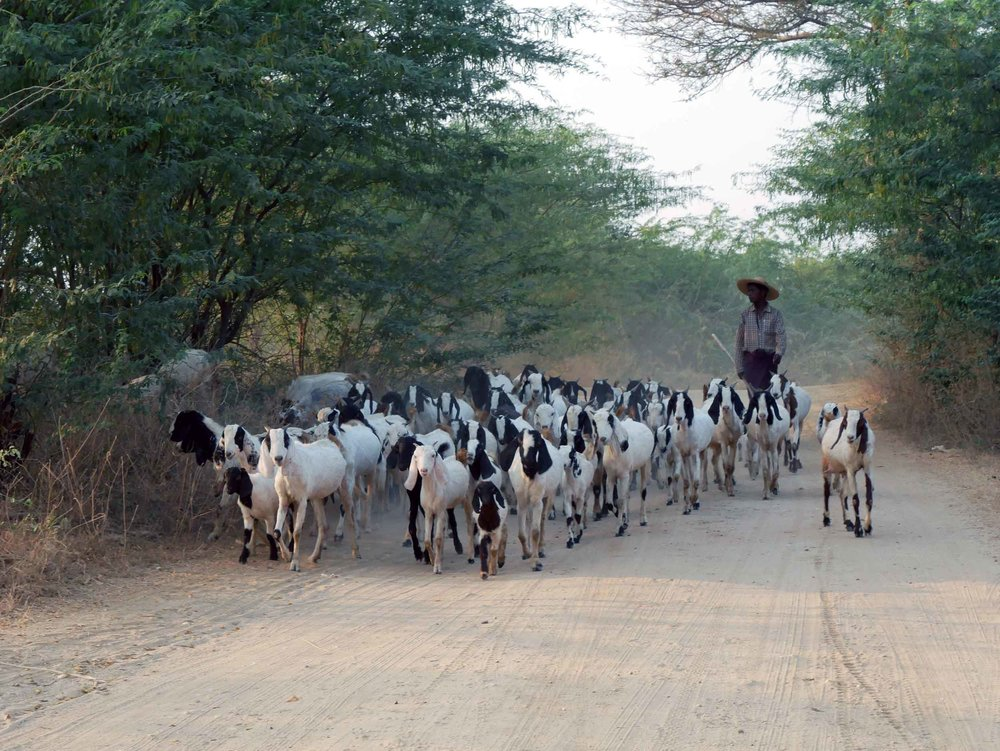 While exploring on e-bikes late one afternoon, we got tangled in a goat herders daily migration (Feb 16).