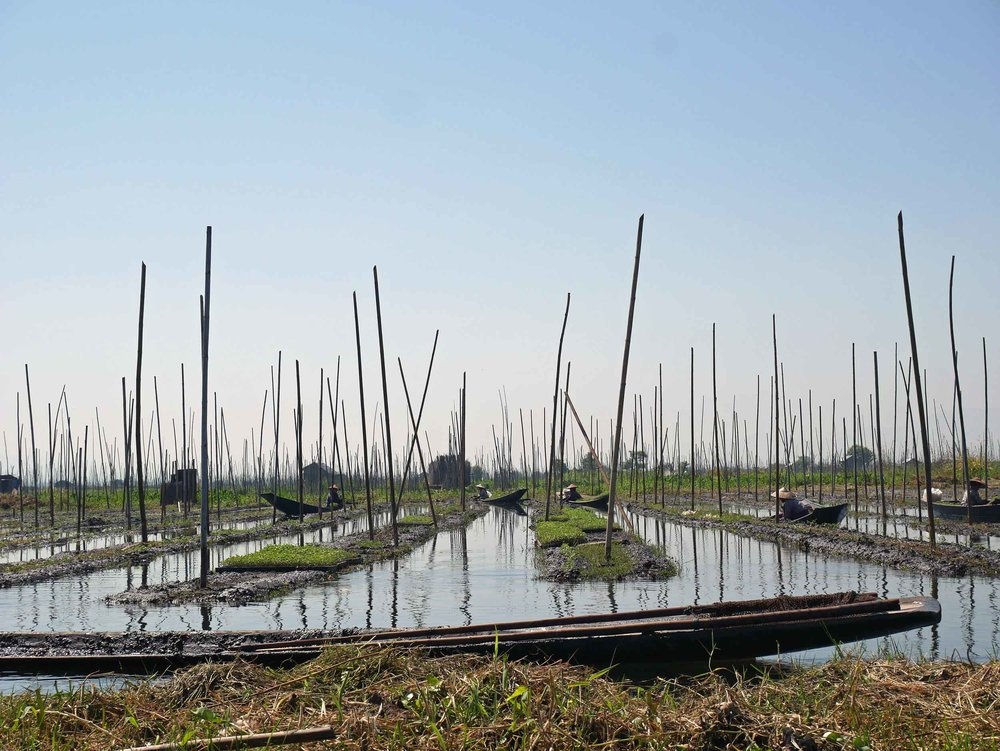 Farmers of the floating gardens grow mostly vine produce such as tomatoes, cucumbers or gourds (Feb 22).