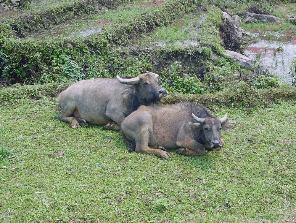 Just two water buffalo buds hanging out and taking a break from munching on grass.  They're only allowed on the terraces when rice isn't in production - they keep the weeds down and fertilize the soil- so they deserve a break! (Mar 24).