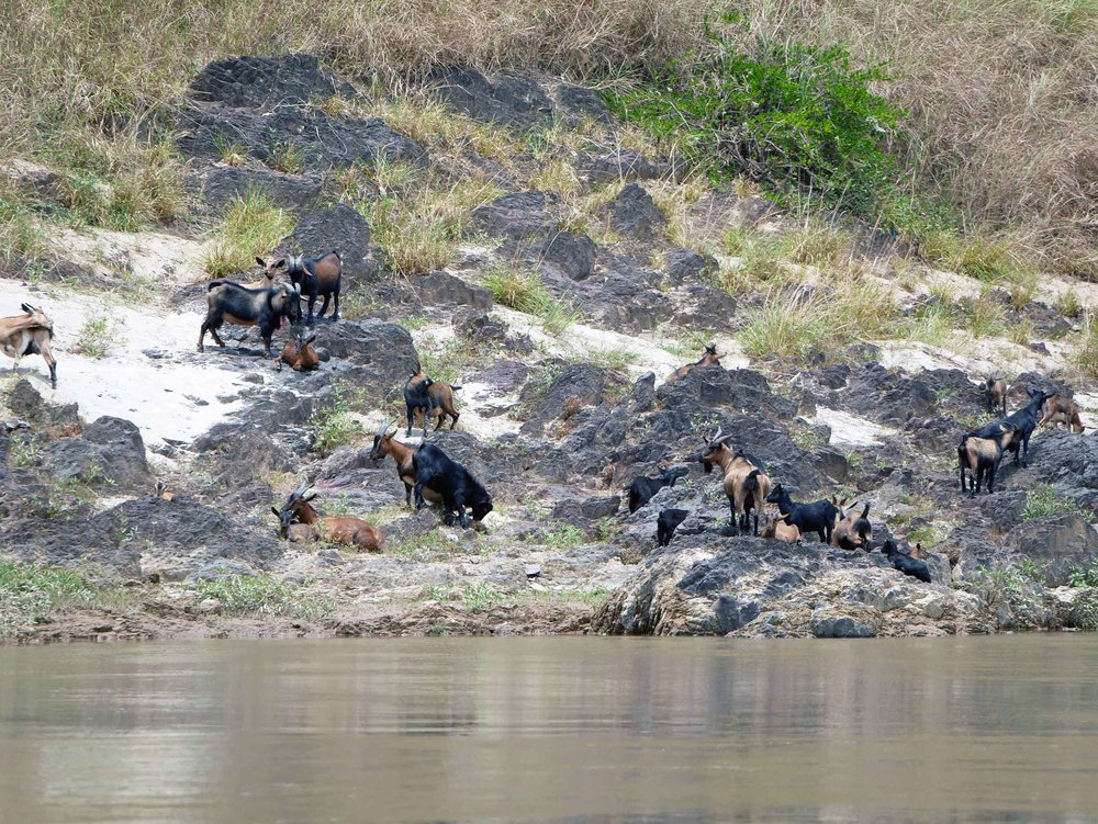 We also saw herds of goats, including their young, foraging for food along the Mekong.