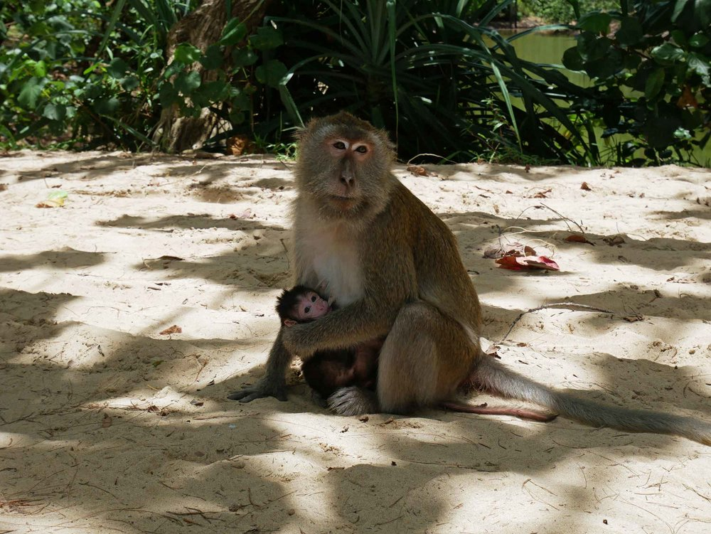 Several of the macaques carried nursing infants as they entertained visitors.