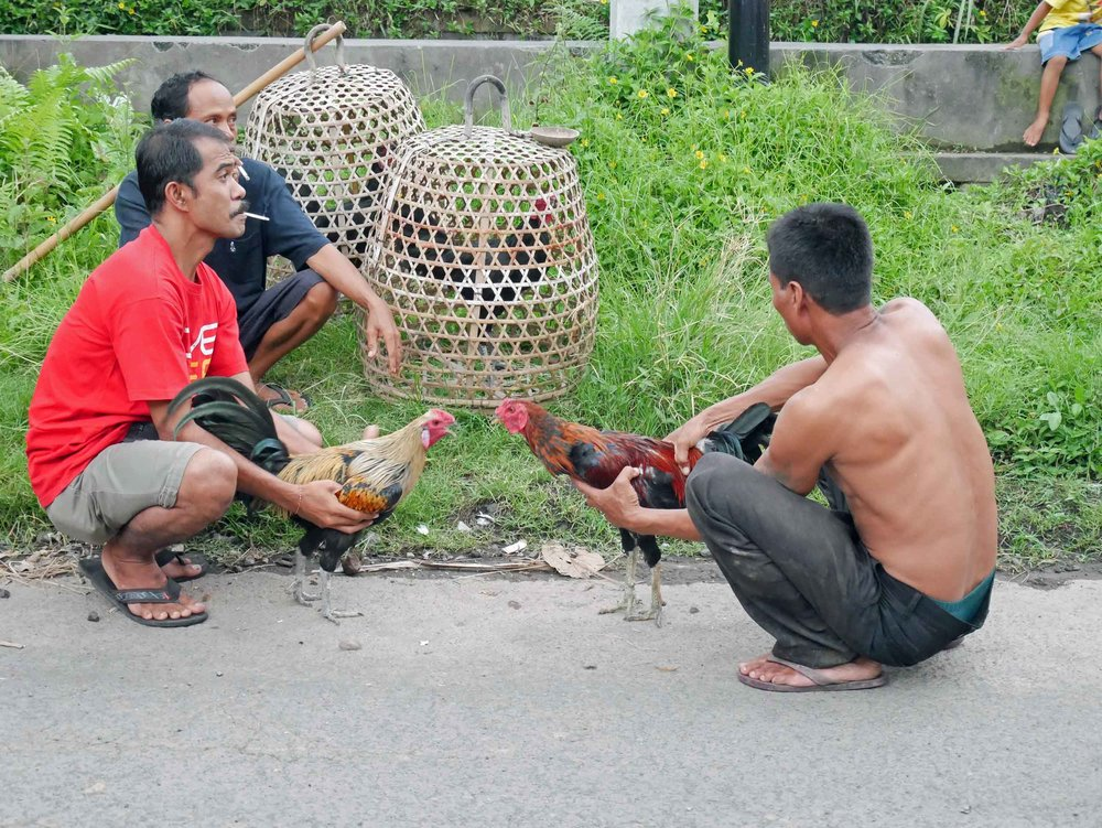 One evening, we stumbled upon local men preparing their roosters for fighting.