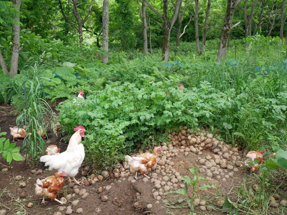 First order of daily business (5am!) on Shiratori Farm was feeding and watering the free range chickens (June 20).
