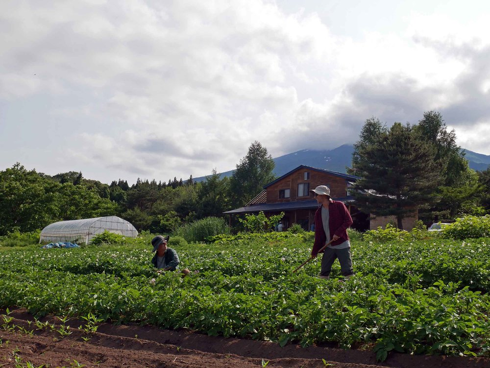 Trey and I spent plenty of sun-drenched hours weeding and de-bugging the many rows of the farm's healthy potato plants.