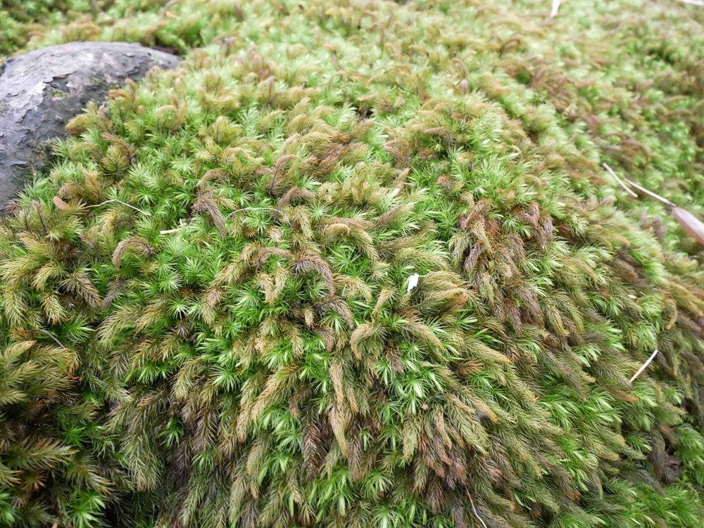 The Goo-ji temple moss garden up close.