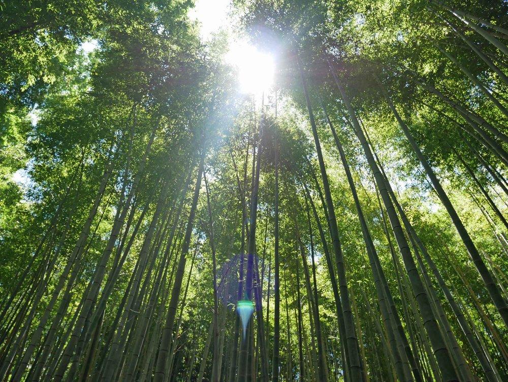 A beautiful day to explore the Arashiyama Bamboo Grove