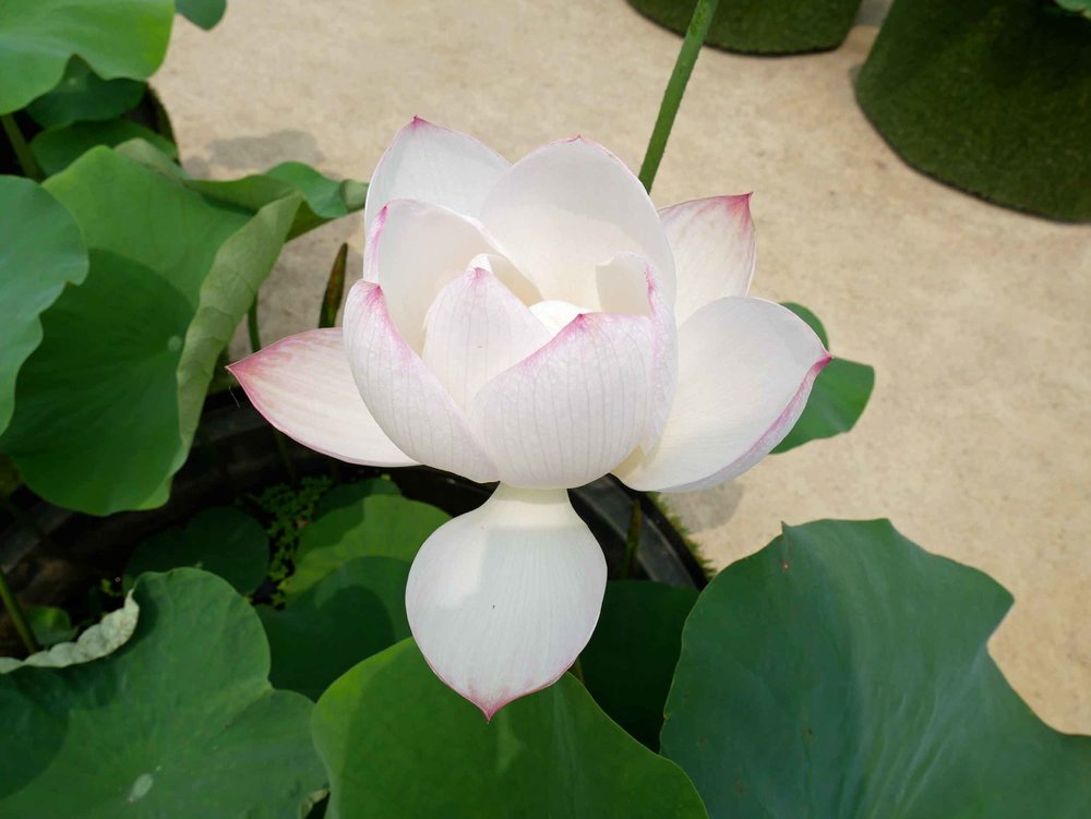 Many of the lotus plants had beautiful blooms that would be harvested for use in and around the temple.