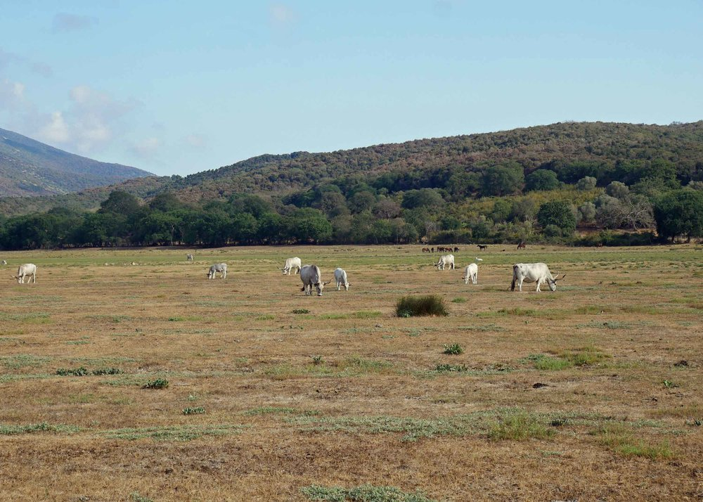 Farmland leads into Maremma Park with Italian-bred Chianina cattle grazing in the fields.