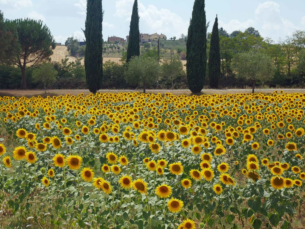 While many of the famous sunflower fields were dried up, we did spot a few bright spots along our drive.