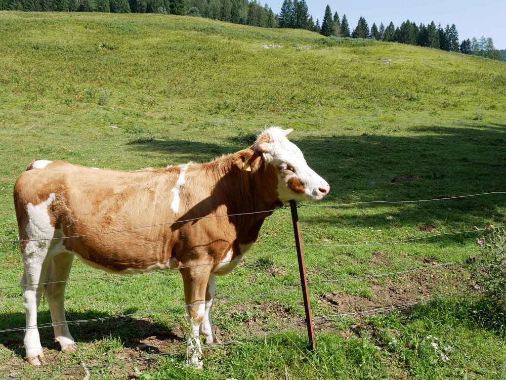 Even cows have itches they can't scratch--we loved this beautiful breed of Slovenian cattle!
