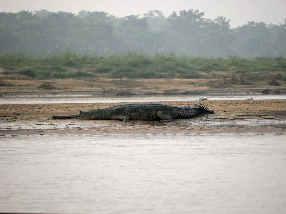 We were lucky to see both species of rare crocodiles - the Marsh Mugger and the Gharial - while in Chitwan.