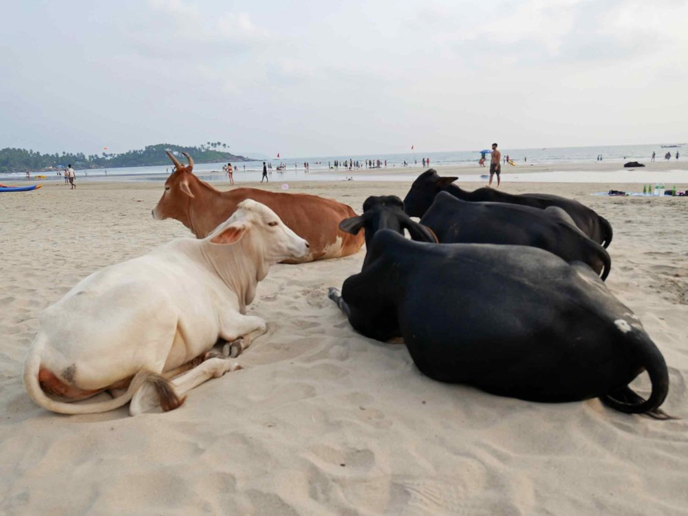Cows taking a rest on the beach.